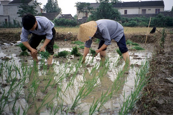 http://www.ecotope.org/projects/tai_lake_n/images/xiejia_china_rice_transplanting_1994.jpg